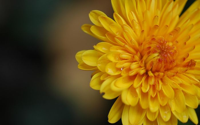Цветы 87804388_large_2835299_yellowflower019_virgomerry_ncsa_display