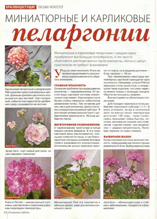 Пеларгония (Герань) 101973126_large_pel1
