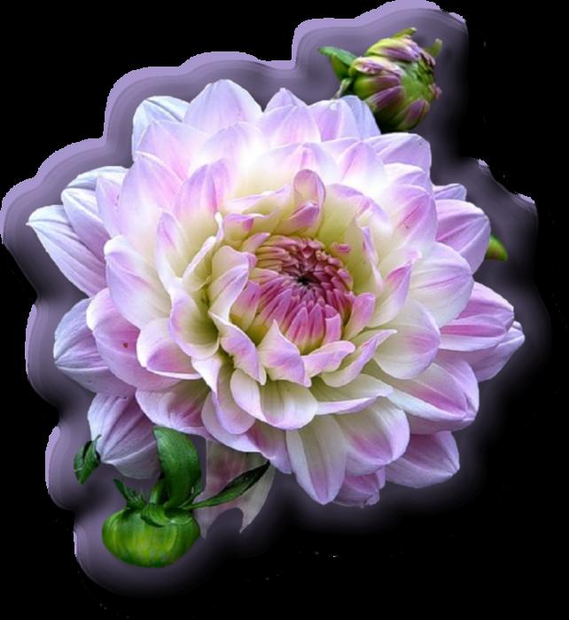 Поздравляем С Днем Рождения Анжелику Николаевну и Татьяну Георгиевну! 125752052_nezhnuyy_georgin