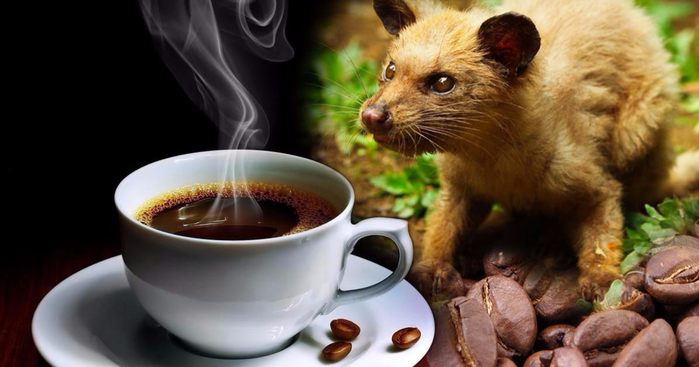 kofe-kopi-luvak (700x367, 230Kb)