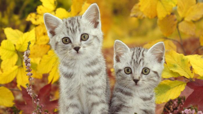 Cats-Kittens-Wallpaper-1024x576 (700x393, 63Kb)