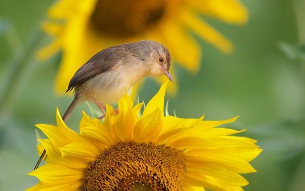 podsolnuh-ptica-fon (605x380, 183Kb)