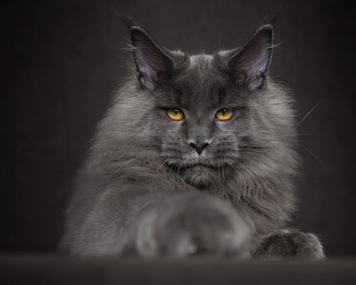 65-breathtaking-pictures-of-maine-coons-the-largest-cats-in-the-world-53 (700x560, 185Kb)