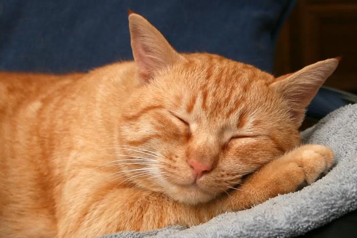 Animals___Cats_Redhead_American_Wirehair_cat_092077_ (700x466, 280Kb)