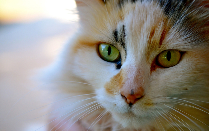 face-cat-eyes-nose-striped-whiskers-skin-color-eye-kitten-mammal-vertebrate-close-up-cat-like-mammal-macro-photography-small-to-medium-sized-cats-carnivoran-585265 (700x437, 321Kb)
