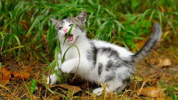 1498556527_cat-eating-grass (700x393, 368Kb)