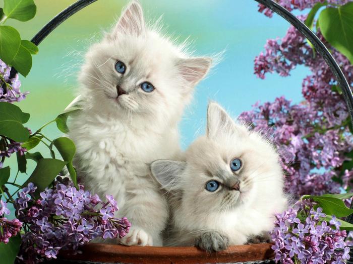 128973-felidae-cheetah-cats-kitten-cuteness-2048x1536 (700x525, 451Kb)