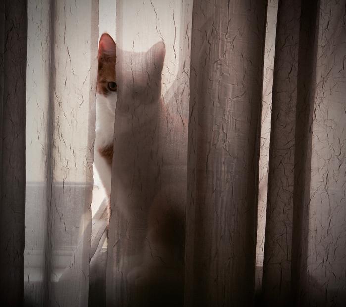 eyes-eye-pet-cat-look-between-curtains-window-sitting-kitten-young-peer-cute-Nikon-nikkor-d7100-indoor-cats-animal-1023137 (700x621, 434Kb)