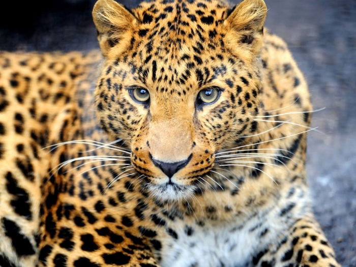 Leopard-Predator-800x600 (700x525, 427Kb)