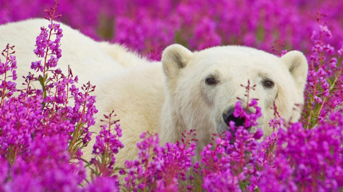 polar-bear-in-field-of-flowers-1024x576 (700x393, 339Kb)