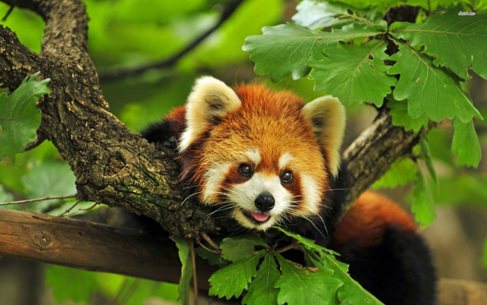 164682795-red-panda-wallpapers (700x437, 366Kb)