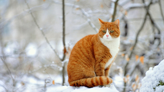 Animals___Cats_Red_Cat_sitting_on_a_snowbank_in_winter_044682_24 (700x393, 287Kb)