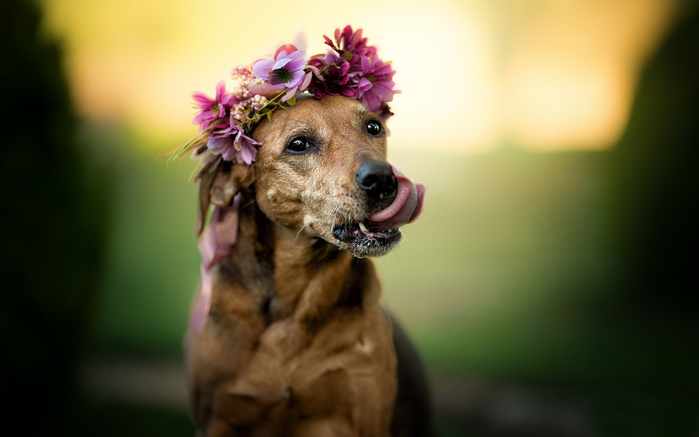 Cute-brown-dog-face-flowers_1920x1200 (700x437, 191Kb)