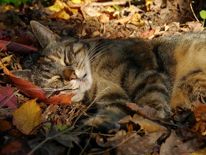 Cats_Autumn_Sleep_Foliage_573874_1024x768 (700x525, 463Kb)