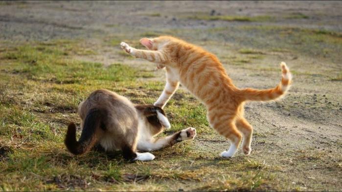 zhestkie-draki-kotov-cats-fight-768x432 (700x393, 303Kb)