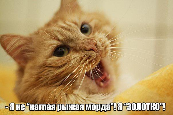 2714816_201401300031yanenaglayaryzhayamordayazolotkokashamalashacom (604x403, 44Kb)