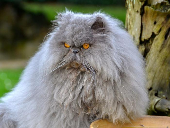 persian_cat_cat_furry_angry_103850_1152x864 (700x525, 336Kb)