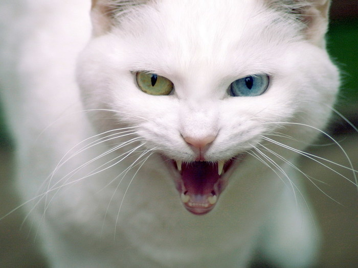 2714816_wallpapers_cats_136 (700x525, 61Kb)