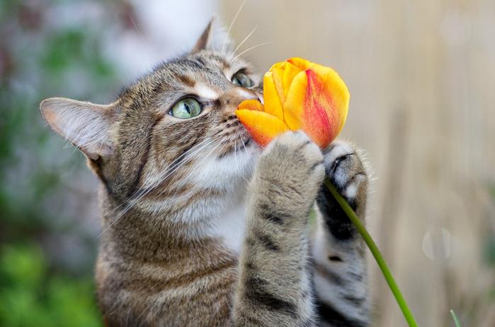 cat_and_tulip (700x463, 304Kb)