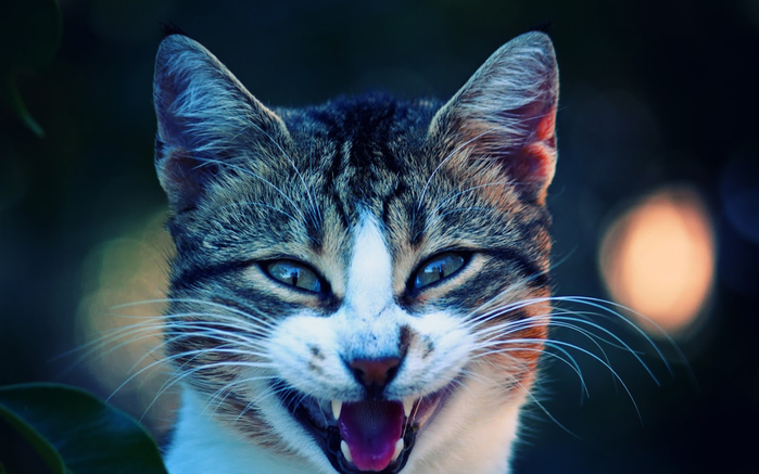 Cool-cat-wallpapers78 (700x437, 281Kb)