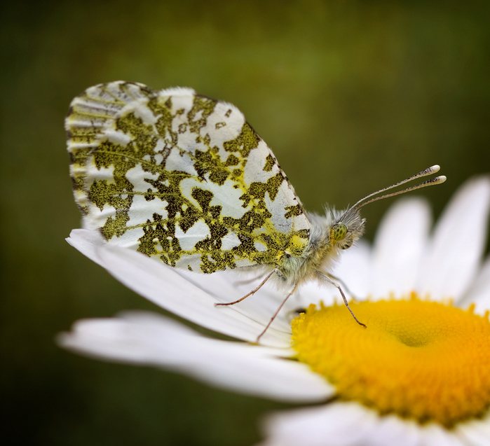 102094555_Nature_close_up_Butterflies_Bugs_and_Bees_2 (699x637, 425Kb)