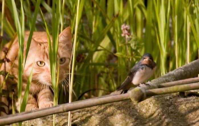 feline 1280x807 wallpaper_www.animalhi.com_100 (700x441, 308Kb)