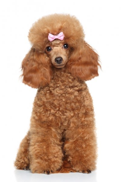 depositphotos_57136207-stock-photo-toy-poodle-with-pink-bow (400x600, 31Kb)