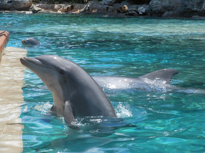 SeaWorld_Orlando_Dolphins-1 (700x525, 476Kb)