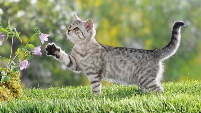 cats-animals-grass-british-kittens-2048x1152-wallpaper (700x393, 340Kb)