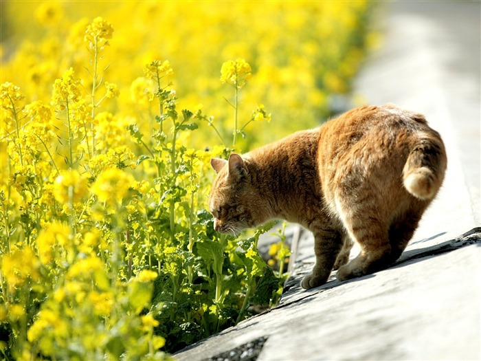 Cat_leisure_time_-_Snapshot_of_cats_in_temples_life_50_medium (700x525, 366Kb)
