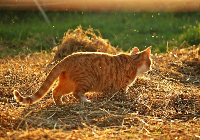 cat_mieze_kitten_mackerel_8 (700x490, 476Kb)