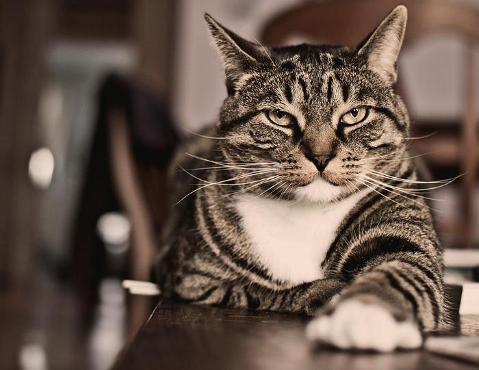 proud-cat-olga-tremblay (700x541, 343Kb)