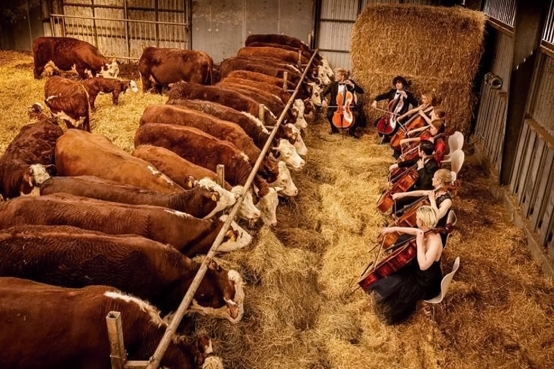 Slikovnica - Page 18 Full-service-cows-funny-picture-6656589