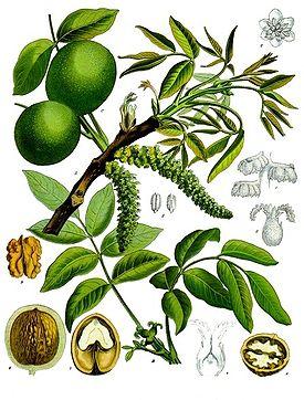 гороскопдруидов - Магические свойства деревьев. Магия деревьев. Деревья в магии. 58412134_275pxKoeh081