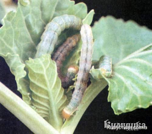 Борьба с вредителями и болезнями растений.Профилактика. 66288038_1274432698_sovka
