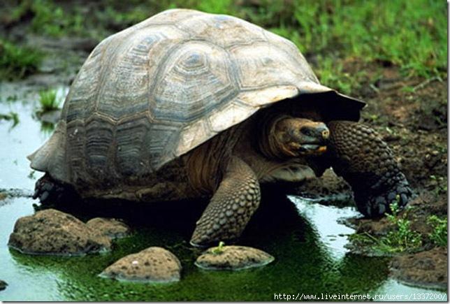 Энциклопедия - ЧЕРЕПАХИ. Виды черепах ( фото и описание ) Все о черепахах. Содержание. Разведение. Кормление.  82673781_large_4_7_big_3