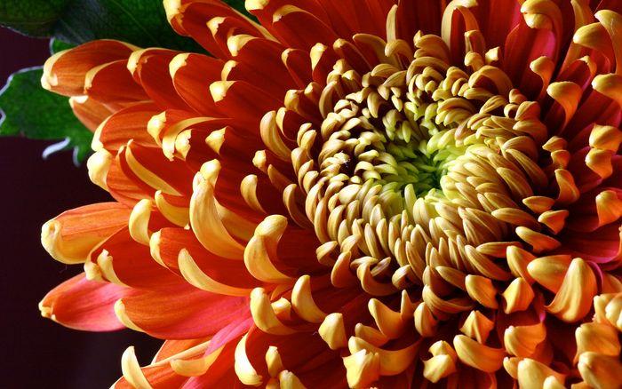 Цветы 87804379_large_2835299_chrysanthemum016_stephcarter_nd_display