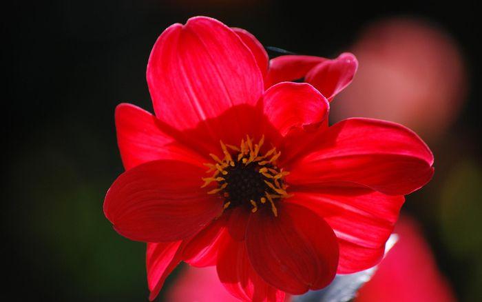 Цветы 87804387_large_2835299_redflowr015_32627348N06_ncnd_display