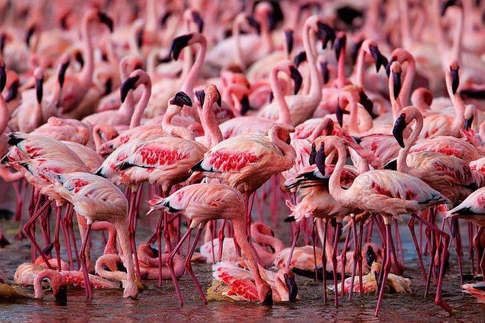 Очевидное невероятное 93005023_Nakuru__ozero_rozovyih_flamingo_1