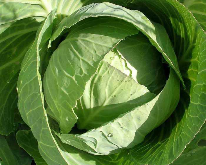 Борьба с вредителями и болезнями растений.Профилактика. 98558879_cabbage_white__2