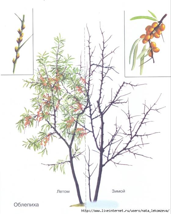 гороскопдруидов - Магические свойства деревьев. Магия деревьев. Деревья в магии. 99097077_Oblepiha