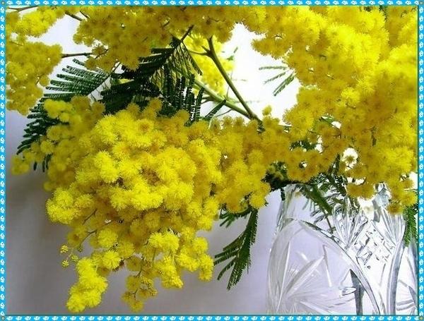 2627134_mimoza_v_vaze (600x455, 194Kb)