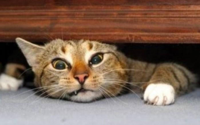 beautiful-cat-cats-wallpaper-16123391-fanpop-page-5 (700x437, 43Kb)