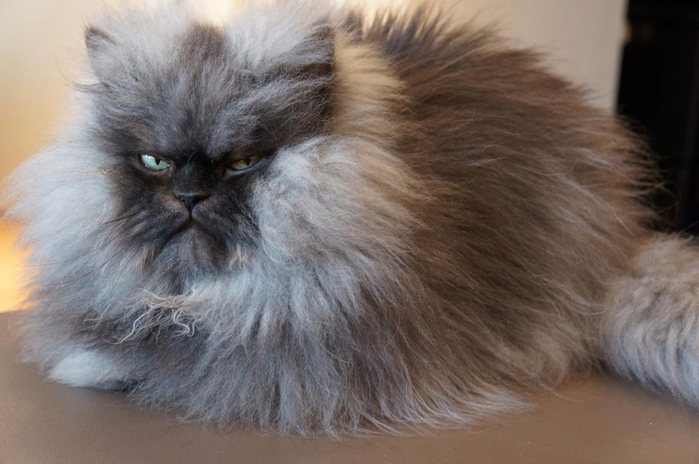 Colonel-Meow (700x464, 277Kb)