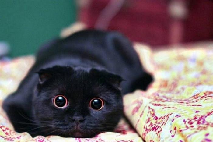 1200px-Чёрная_кошка_интересуется (700x466, 254Kb)
