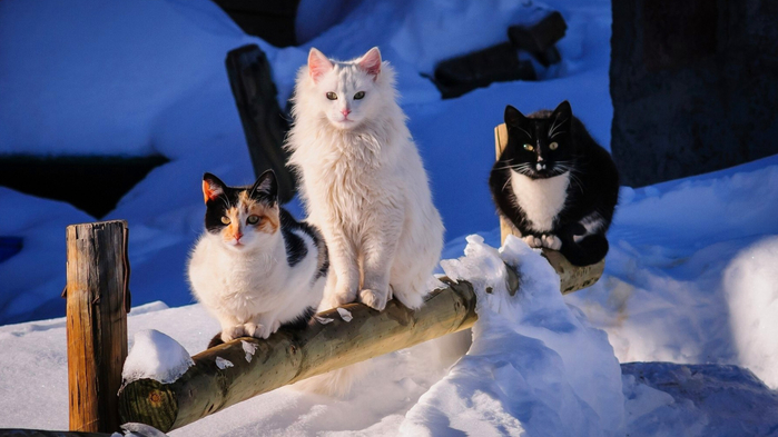 Winter-Cats-1366x768 (700x393, 269Kb)