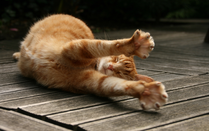 CAT_pandiculation (700x437, 307Kb)