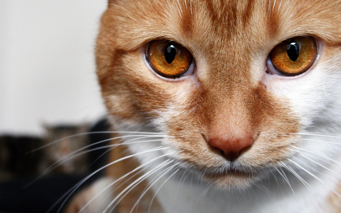 cat-red-looks (700x437, 348Kb)