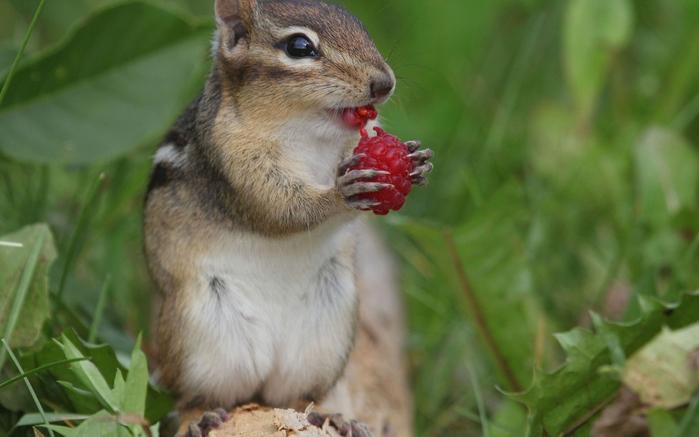chipmunk_berry_raspberry_78136_1680x1050 (700x437, 261Kb)
