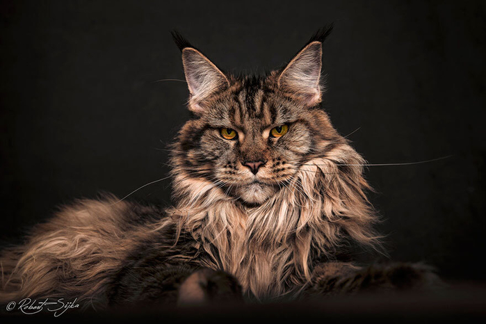 maine-coon25 (700x466, 242Kb)